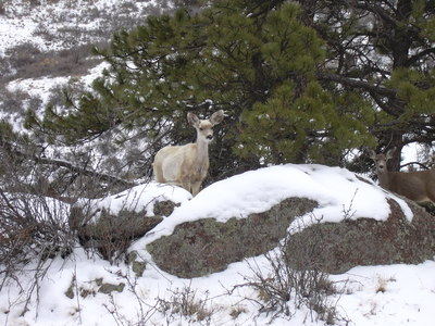 2013-02-23 White Deer off Antelope Trail at Hall Ranch