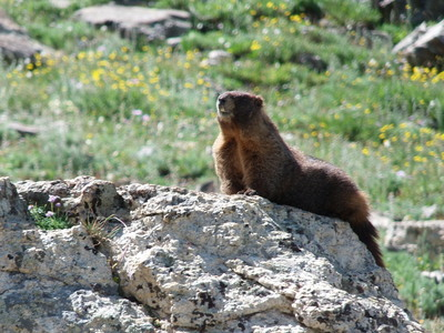 2014-08-02 Marmot off Buchanan Pass Trail