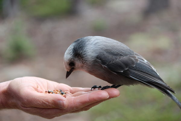 2015-10-05 Gray jay (Perisoreus canadensis) on hand
